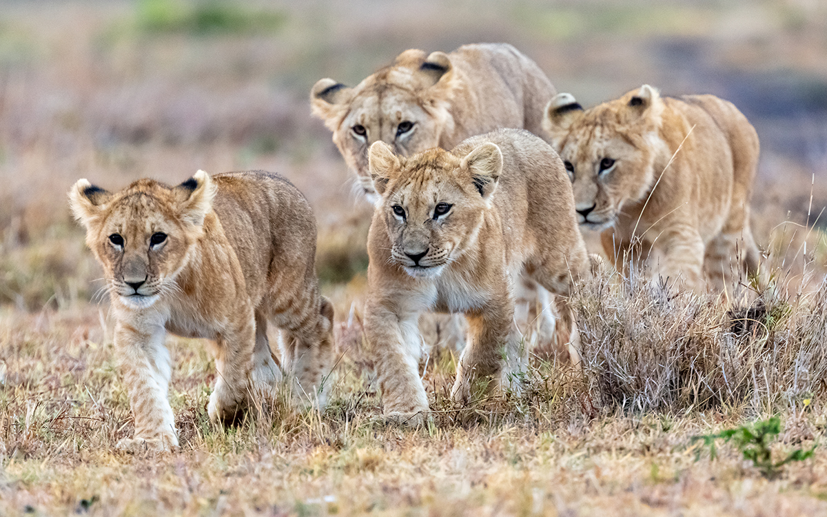 Young cubs on the hunt