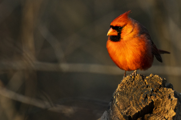 A male Cardinal in the North Woods in Central Park.